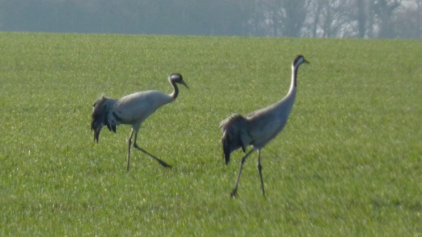Muchow - Das Dorf der Großvögel in Westmecklenburg - Die Kraniche rasten