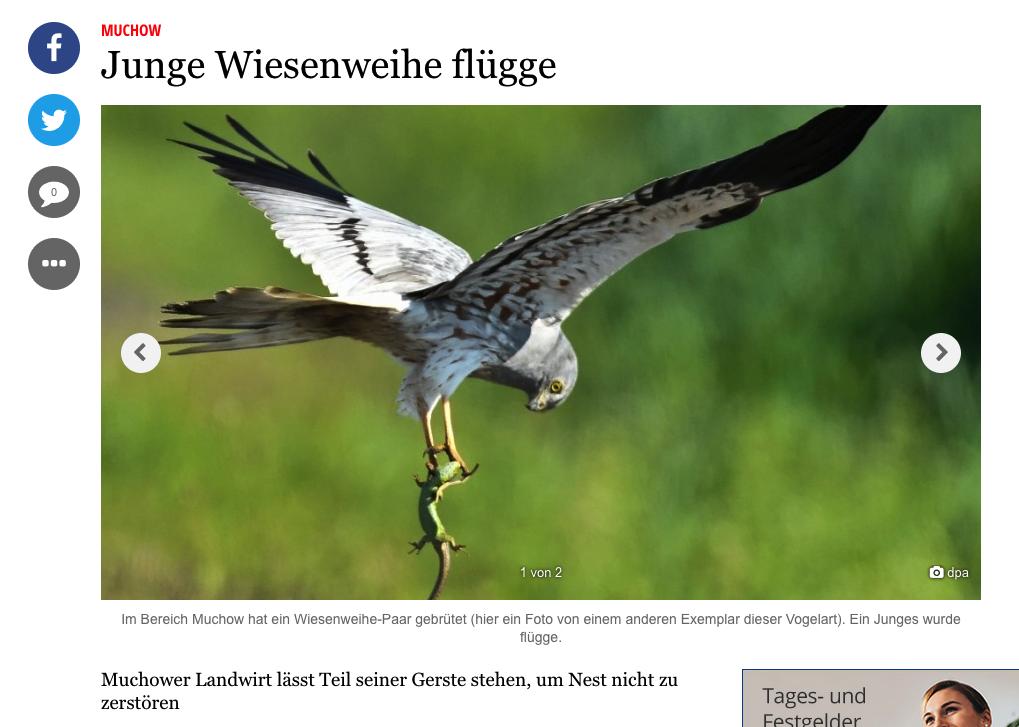 Wiesenweihe in Muchow - Das Dorf der Großvögel