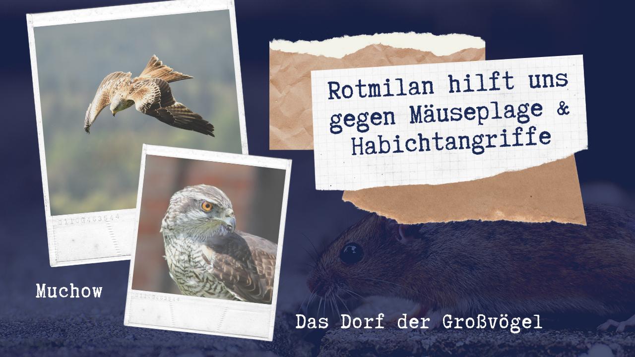 Rotmilan hilft uns gegen Mäuseplage & Habichtangriffe